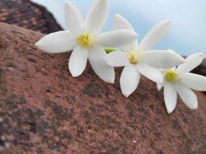 brown, beautiful, jasmine