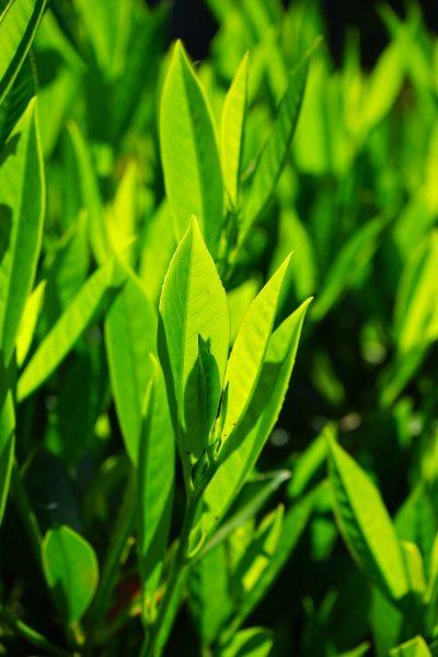 bay leaves, leaves, green