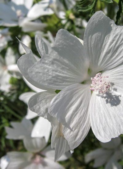 flower, mallow musk, white