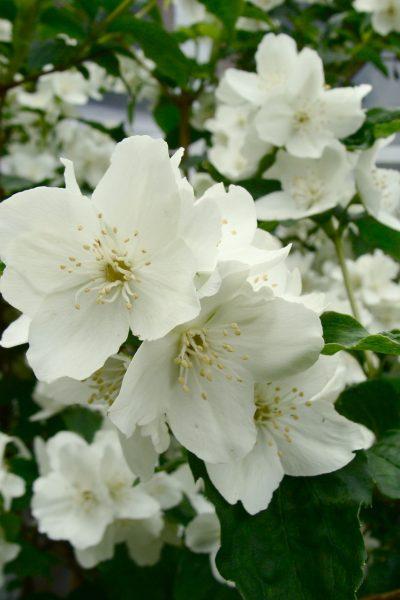 jasmine, wildflower, night scented jasmine