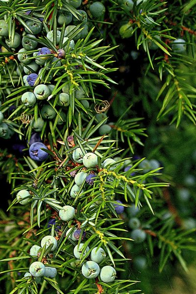 juniper, common juniper, evergreen